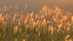 Miscanthus sinensis 004 (stock movie HD material)