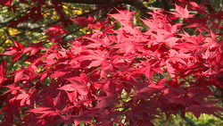 Autumn leaves 007 (stock movie HD material)
